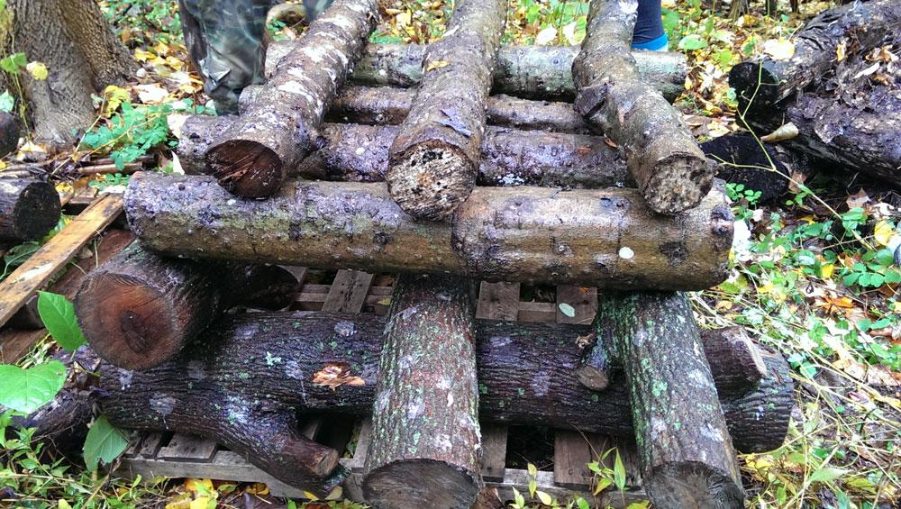 shiitake mushroom logs