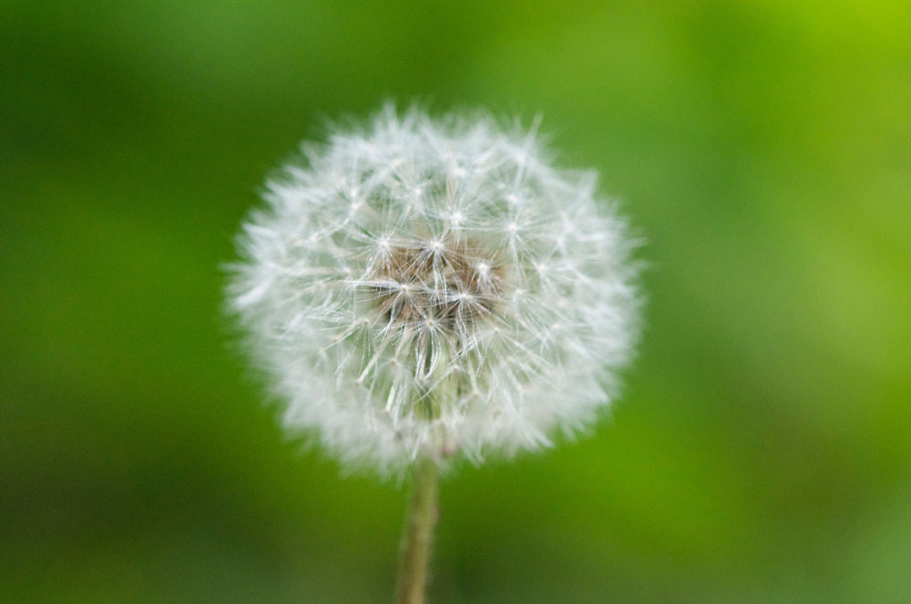 dandeliongenestullweb